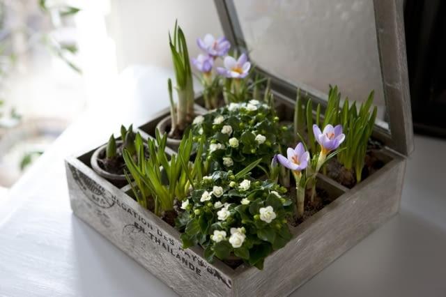 Krokusy. Wiosenne doniczkowe kwiaty cebulowe