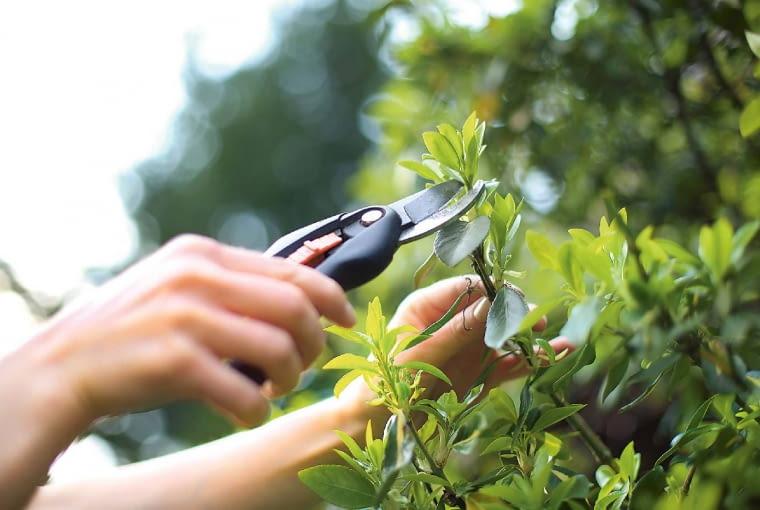 Krok po kroku: robimy sadzonki: 1. Materiał na sadzonki pobieramy, wycinając zkrzewów tegoroczne przyrosty o długości 4-12 cm (im gęściej ułożone są liście, tym odcinki mogą być krótsze).