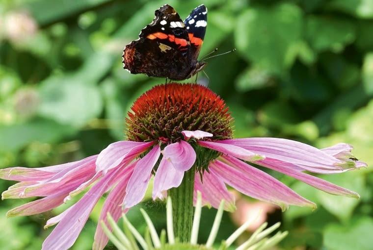 Ogród dzięki odpowiednim roślinom jest przyjazny owadom zapylającym - motylom, pszczołom i trzmielom.