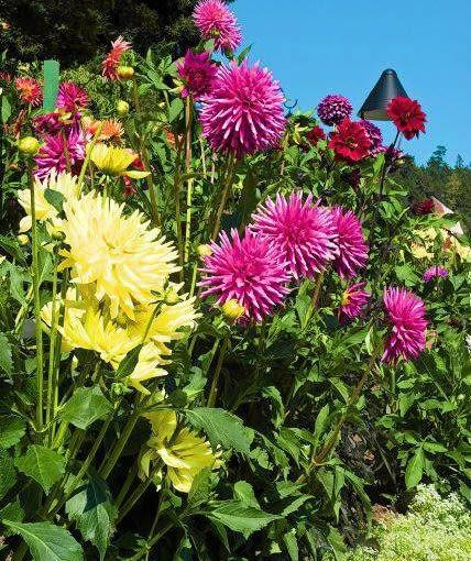 Na rabacie dalie powinny rosnąć w dużych grupach. Warto łączyć ze sobą odmiany o różnej barwie płatków i kształcie kwiatostanu.