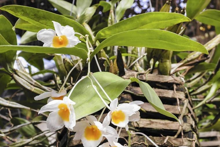 Dendrobium farmerii rosnące w ażurowym pojemniku.
