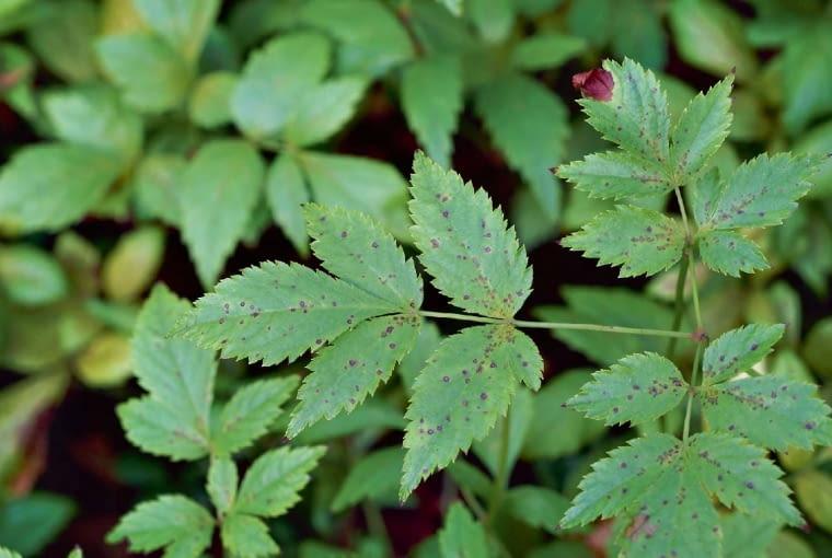 Plamistość liści tawułki