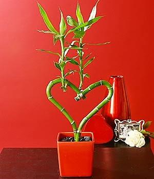 kwiaty na walentynki, bambus