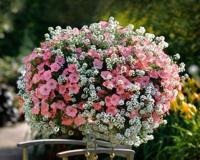 Kulista kompozycja w wiszącym pojemniku. Składają się na nią rózowa petunia 'Veranda' oraz drobnokwiatowa biała smagliczka 'Snow Princess'.