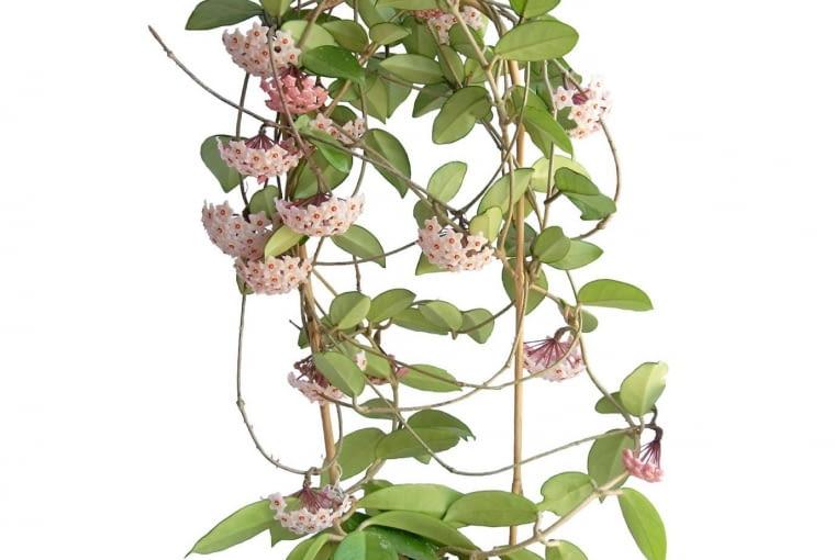 Hoja (Hoya)jest wprawdzie tolerancyjna co do warunków świetlnych (bujnie rośnie i w słońcu i w półcieniu), ale słabiej oświetlonych miejscach mniej obficie kwtitnie