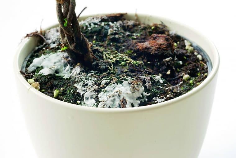 Na powierzchni ziemi w doniczce pojawia się biały nalot. Przyczyna: patologiczna grzybnia.