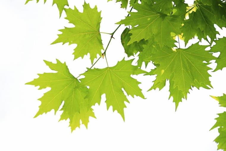 liście klonu