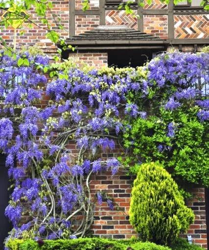 Glicynia kwiecista (Wisteria floribunda) najlepiej rośnie w miejscach osłoniętych i słonecznych