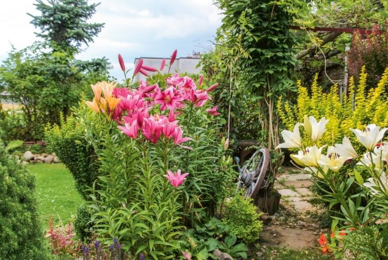 Wystarczy kilka kielichów lilii, by rabaty nabrały powabu. Tu zestawiono je z berberysami, których spokojna zieleń podkreśla urodę zjawiskowych kwiatów.