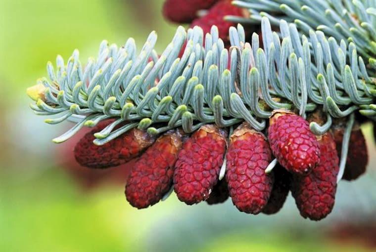 Iglaki. Jodła szlachetna. Gałązka jodły szlachetnej (Abies procera) 'Glauca' - wspaniały kontrast szarobłękitnych igieł i nieotwartych jeszcze rdzawych kwiatów męskich