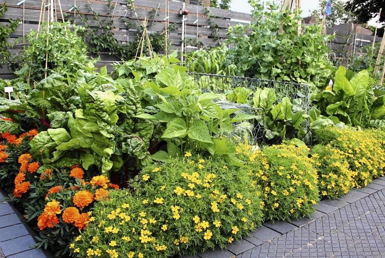 Mieszana rabata z roślin jadalnych, pełna buraków i fasoli. Kolorowym akcentem są kwiaty aksamitek