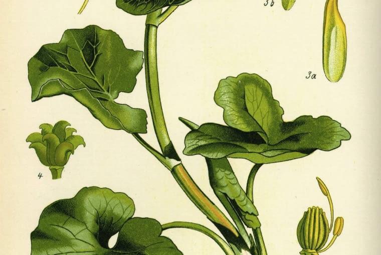 (Caltha palustris) ma grubą i pustą łodygę o długości ok. 50 cm. Liście są nerkowate i na brzegu lekko karbowane, a z wierzchu gładkie. Kwiaty składają się z 5 płatków