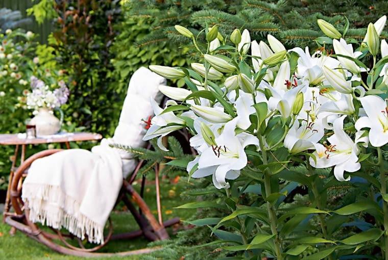 Lilia to kwiat niezwykłej urody. Olbrzymie kielichy ozdabiają rabatę i do tego bajecznie pachną.