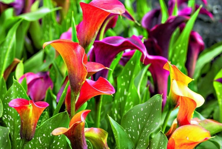 Cantedeskię rehmannamożna na lato wysadzić do ogrodu, do wilgotnego podłoża, np. w okolice sadzawki.