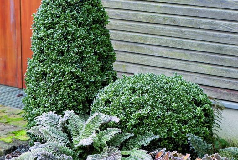 Spośród czterech zimozielonych roślin w tym zestawie każda ma inny pokrój: żywotnik - kolumnowy, bukszpan - kulisty, paproć - rozłożysty, a epimedium - wzniesiony, kępiasty.