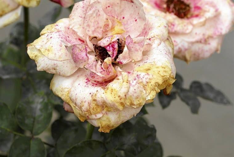 szara pleśń na róży