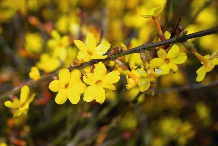 Jaśmin nagokwiatowy (Jasminum nudiflorum) to pnącze zakwitające już w lutym, ale dosyć wrażliwe na mróz.