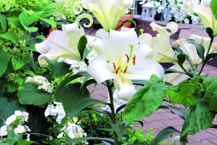Na białej rabacie przed domem latem królują lilie 'Pretty Woman', a wiosną budzą ją do życia tulipany 'Exotic Emperor'.