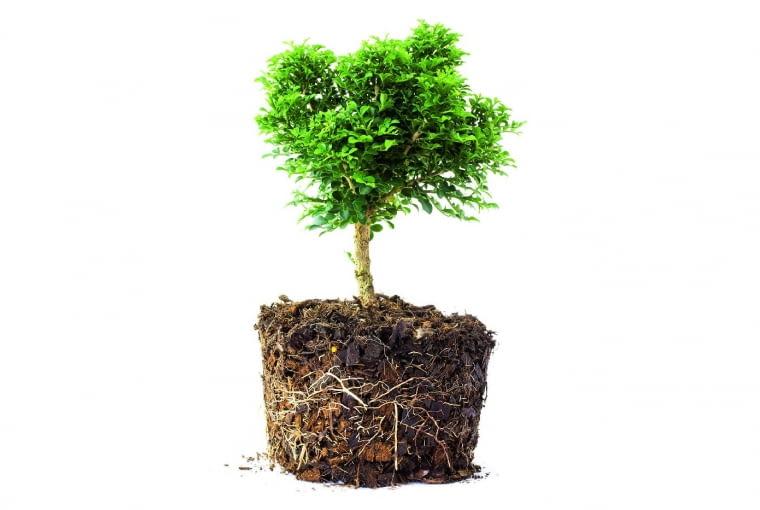 Żywotnik zrozrośniętymi korzeniami łatwo się przyjmie wogrodzie.