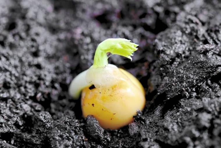 Nasiona groszku kiełkują już w temperaturze -2 st. C. Przysłowie mówi: Na świętego Marka (25 IV) groch wyrasta z ziarnka