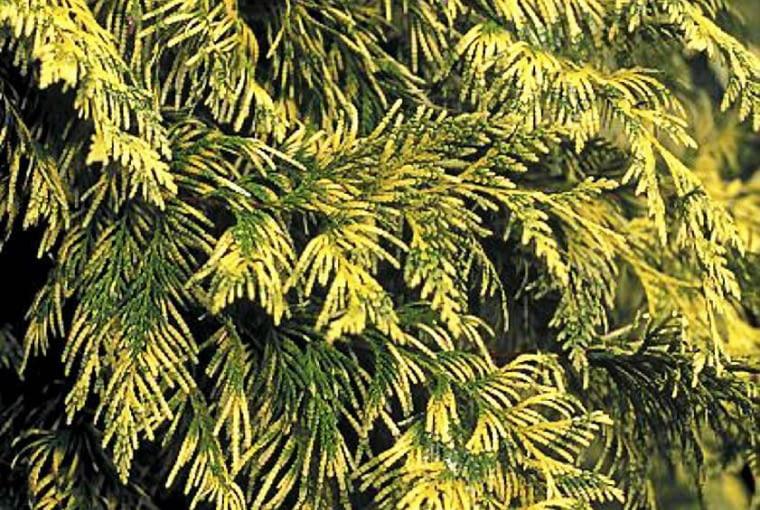 Żywotnik olbrzymi 'Zebrina Extra Gold' przyciąga uwagę złocisto upstrzonymi gałązkami z bylinami