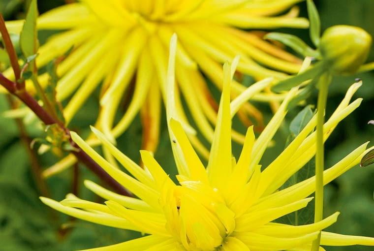 'Gryson's Yellow Spider' - dalia kaktusowa, wys. 110 cm, śr. 'kwiatu' 15-20 cm.