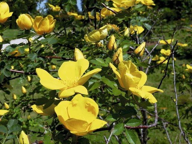 Róża żółta 'Bagatelle' to odmiana gatunku Rosa foetida, od tysiącleci cenionego za żółte kwiaty pojawiające się na przełomie maja i czerwca. Ma swobodny pokrój, osiąga 1,5m wysokości.