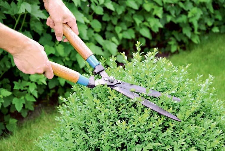 Topiary. Krzewy, którym nadano określone kształty (np. stożka, kuli, itp.), wymagają stałej pielęgnacji, wprzeciwnym razie łatwo ulegną deformacji. Dlatego już wmaju silnie skracamy świeżo wyrosłe pędy, pozostawiając najwyżej 1 cm długości. Jeśli chcemy, by topiar nadal powiększał swe rozmiary, pozostawiamy na młodych gałązkach 2-3 cm.