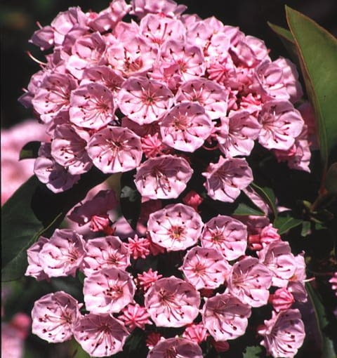Kalmie (Kalmia) to bardzo dekoracyjne rośliny wymagające nieco suchszych podłoży niż ich krewniacy różaneczniki. Jednak tak jak i one lubią półcieniste, wilgotniejsze miejsca