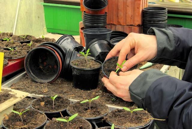 Siewki pomidorów, wyrosłe w skrzynce, pikujemy po jednej do niewielkich doniczek. Ziemię wokół roślin uciskamy