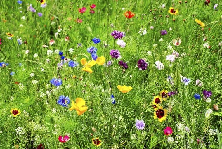 Tu w podobnej kompozycji widać niebieskie i purpurowe chabry, czerwone maki i len wielkokwiatowy.
