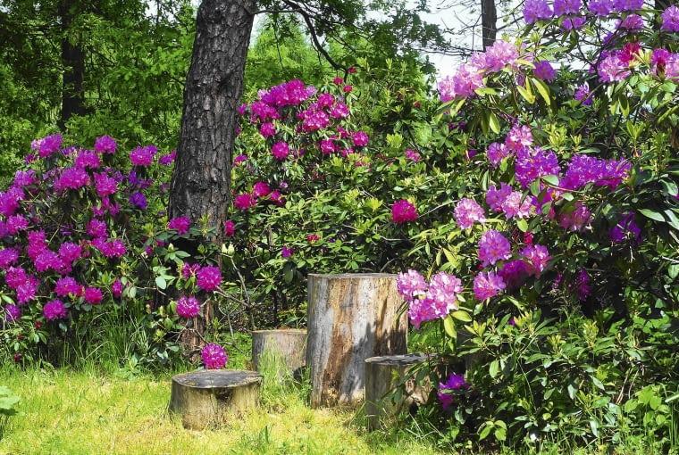 Te piękne różaneczniki wyselekcjonowano 20 lat temu z nasion pochodzących z Wojsławic.
