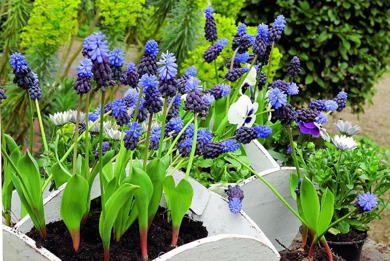 W skrzyneczkach rosną szafirki szerokolistne (Muscari latifolium). Zimowały wdonicach wchłodnej piwnicy.