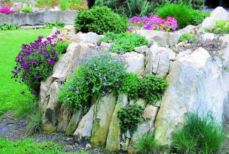 W szczelinach pomiędzy kamieniami dobrze rosną fioletowo kwitnące żagwiny i rozchodniki.