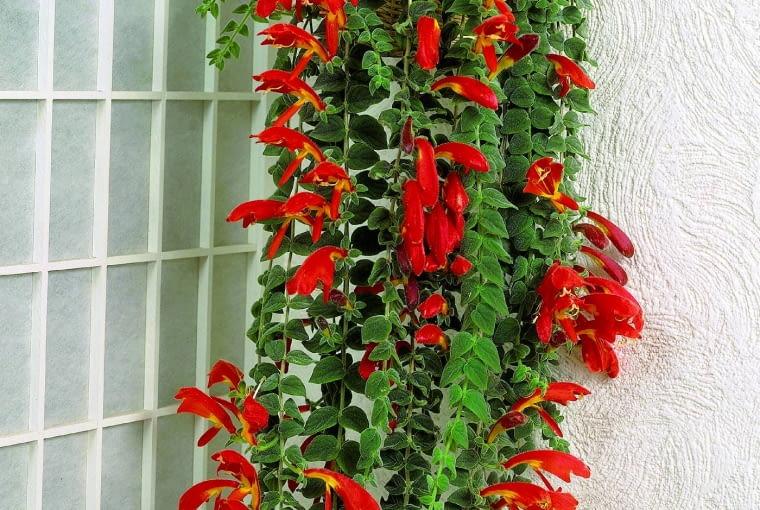 Kolumnea okazała tworzy pędy o długości 80-90 cm. Jej liście są owłosione, aczerwono-żółte kwiaty dorastają do 8 cm. Ten okaz umieszczono na ścianie wkoszu.