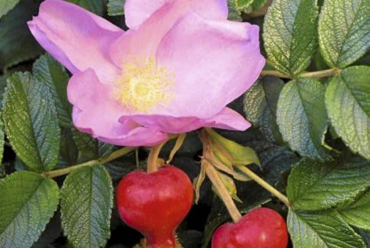 rosa fru dagmar hastrup (rugosa rose), pink flower & hips SLOWA KLUCZOWE: , rugosa, rose, rosa, pink, leaf, hips, hip, hastrup, fruit, fru