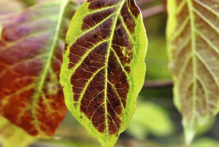 CEPHALANTHUS OCCIDENTALIS, BUTTON BUSH SLOWA KLUCZOWE: Blatt Cephalanthus Cephalanthus occidentalis Flora Herbst Laub Pflanze Strauch braun gr´n