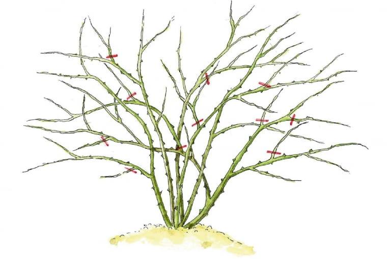 Odmładzanie róży dzikiej polega na wycięciu gałęzi krzyżujących się z innymi oraz skróceniu pozostałych pędów.