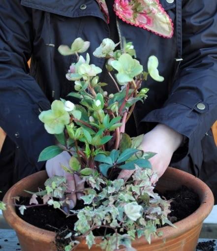 Wiosenne rośliny posadzone w donicach sadzimy najgęściej jak się da. Donice powinny być dekoracyjne, bogate, obfite - w maju ciemierniki i prymulki można przesadzić do ogrodu na rabaty. Bluszcz oraz donicę można użyć do tworzenia kompozycji letnich