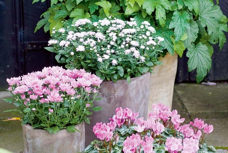 UROCZE TRIO w pastelowej tonacji. Tworzą je cyklameny (Cyclamen) ociekawych pstrych liściach oraz różowo ibiało kwitnące chryzantemy.