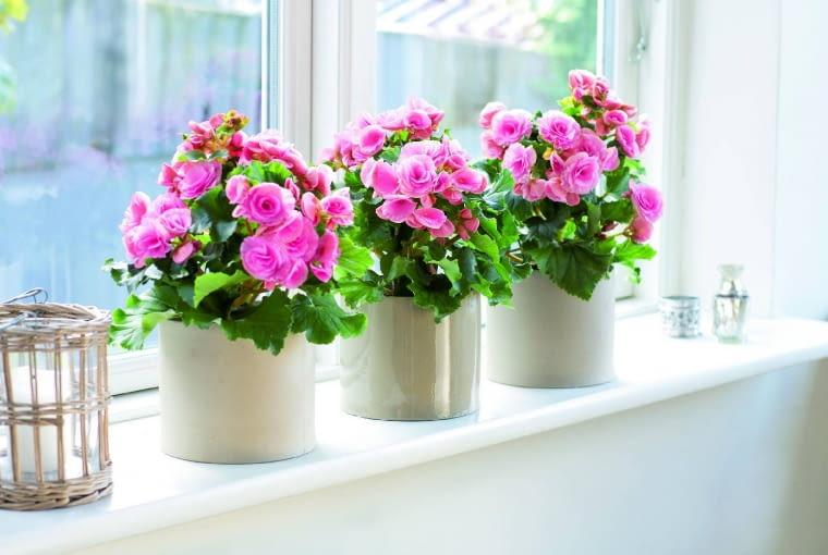 Begonia zimowa rozwija przez całą zimę mnóstwo kwiatów. Wtedy powinna mieć jak najwięcej światła.