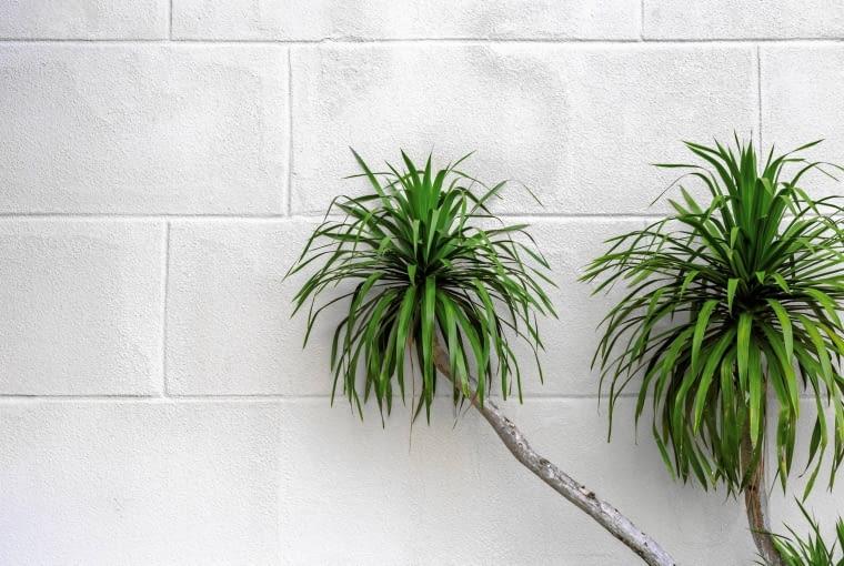 Roślina dobra do łazienki - juka