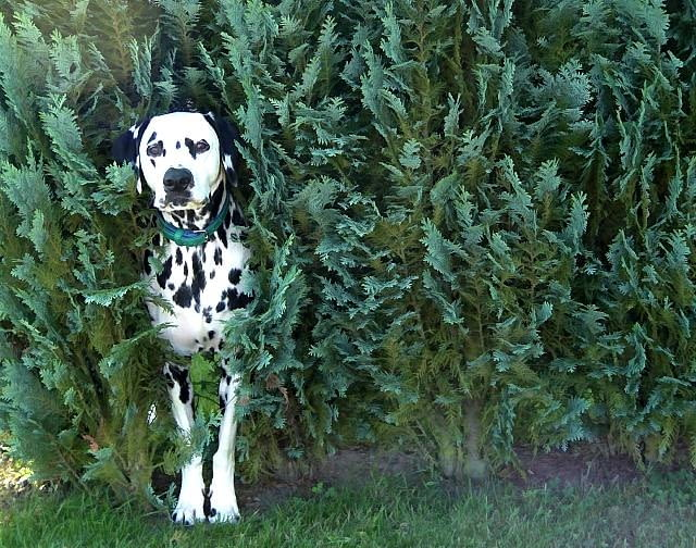 Szczególnie zagrożone przez psa są iglaki. Mają one bowiem tak intensywny zapach, że zwierzak stara się go zagłuszyć wonią swego moczu.