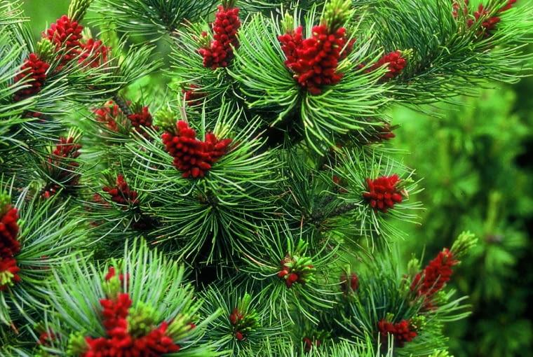 Sosna karłowa (Pinus pumila) 'Glauca'