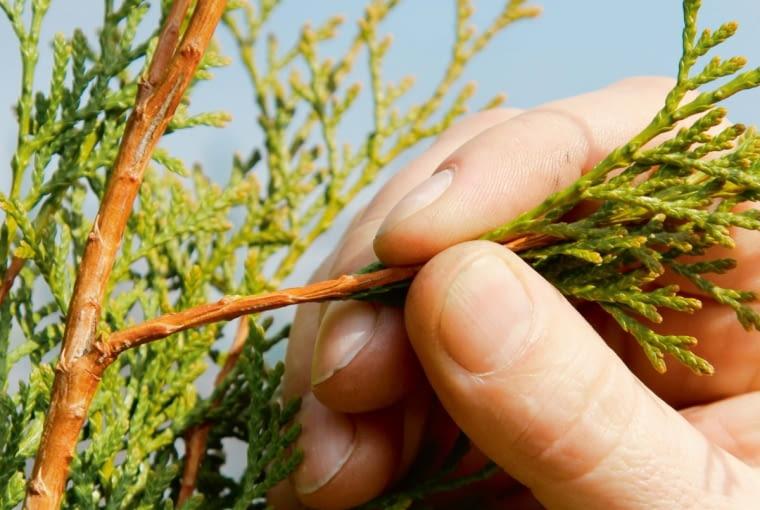 Ze zdrowej rośliny odrywamy zeszłoroczny przyrost razem z tzw. piętką, czyli końcówką ze starszego pędu, która ma ok. 1-2 cm długości.