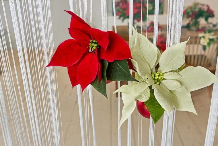 Dekoracje świąteczne z Gwiazdą Betlejemską