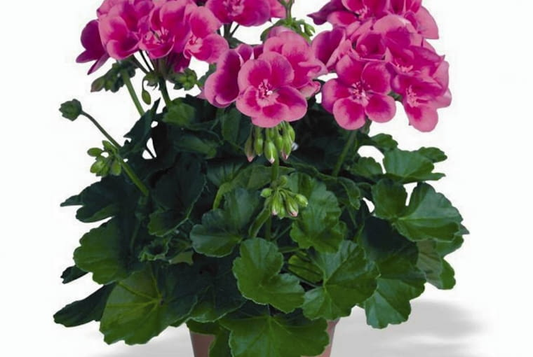 Pelargonia rabatowa 'Flower Fairy Rose'