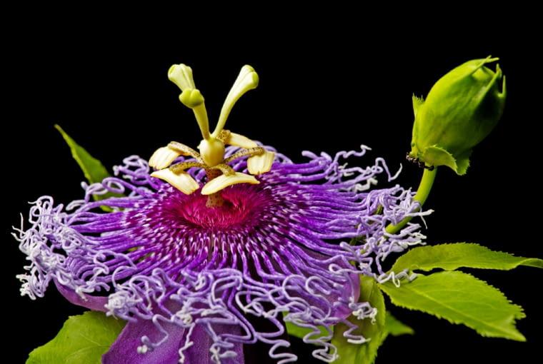 męczennica, roślina ogrodowa