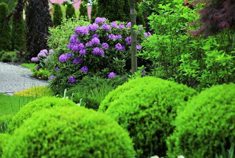 Kwiaty różaneczników wspaniale kontrastują z nasyconą zielenią liści.