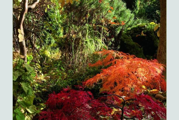 Jesienne radości - płonące czerwienią klony palmowe pod okapem dereniowych liści.